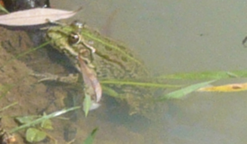 grenouille 2.jpg