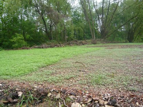 germination engrais verts.jpg