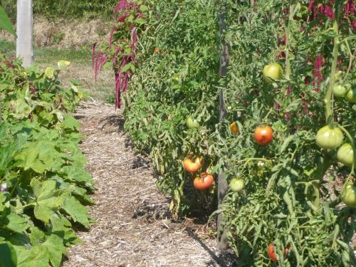 rang de tomates.jpg