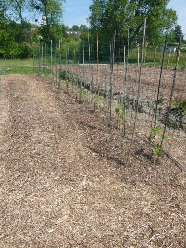 tomates cage.jpg