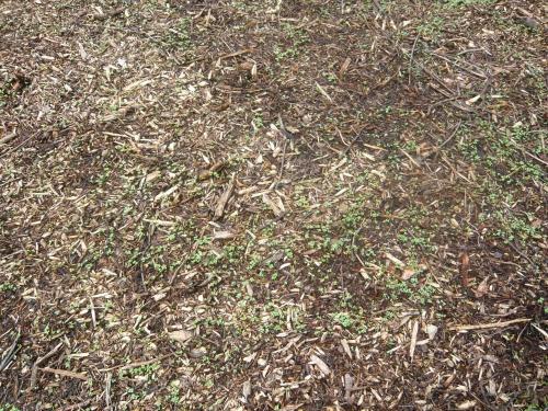 germination engrais verts sur BRF.jpg